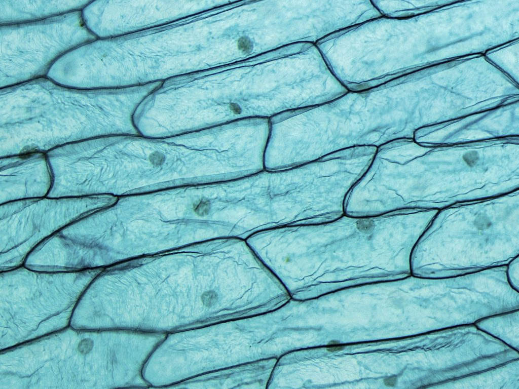 Onion Cells seen on microscope at 200x Magnification. Phase Contrast Optical Microscope